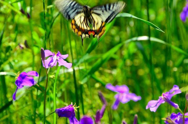 ムラサキハナナ目がけて飛んで来たナミアゲハ