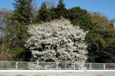 山桜の見事な花