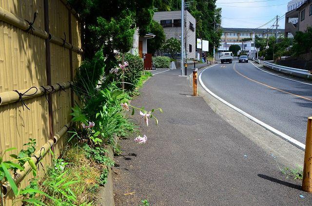 通学路に咲く鹿の子百合