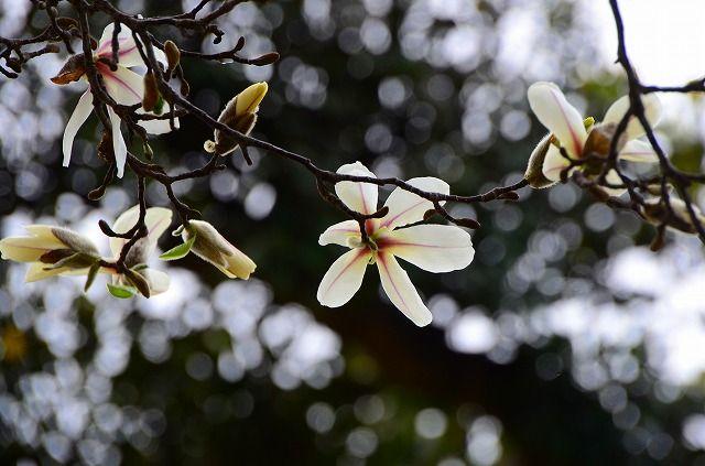 上深谷のコブシの花