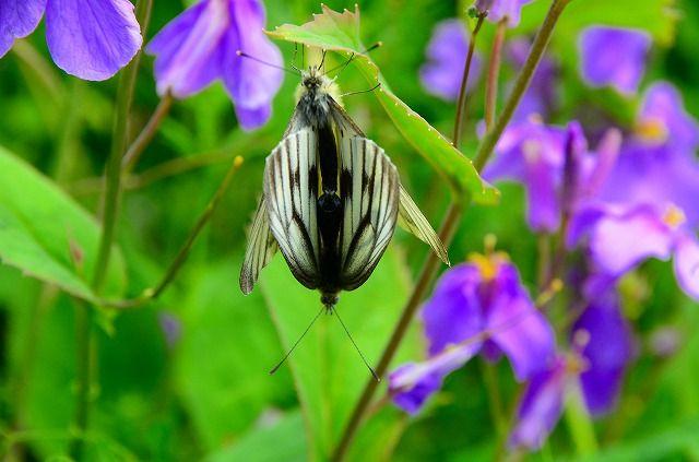 ペアリングのスジグロシロチョウ