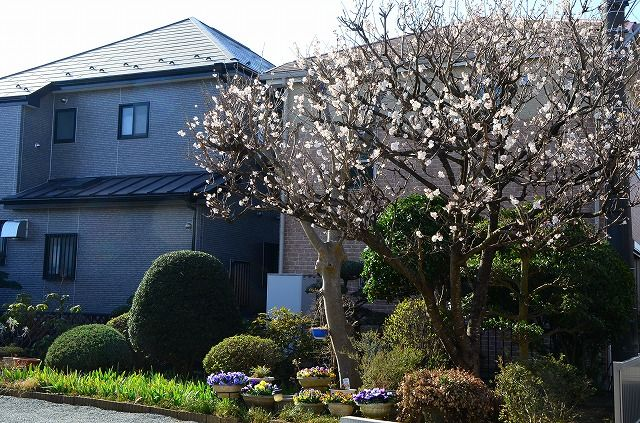 咲き出した隣家のさくらんぼ