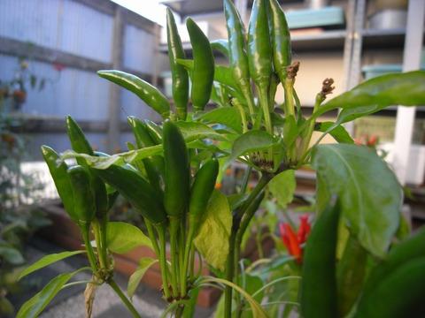 red-pepper_01