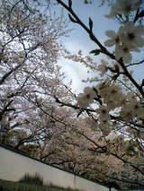 先週見た桜はきれいだった。