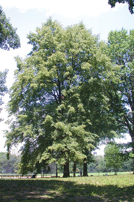 european-linden-tree