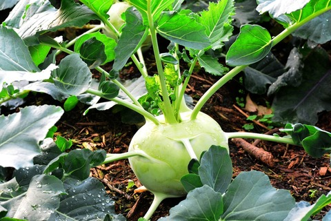 Kohlrabi-pflanzen-anbauen