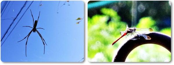 蜘蛛と赤とんぼ