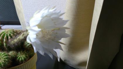 20140530サボテン・花 (1)