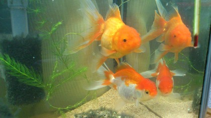 20120526金魚2