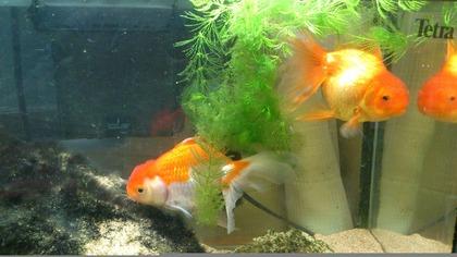20120811金魚1