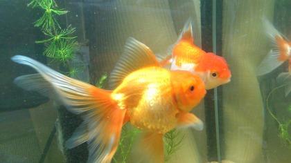 20120526金魚1