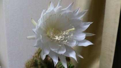 20140530サボテンの花