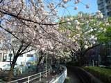 20080414大井町の桜