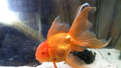 20130918金魚 (1)