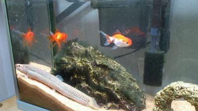 20120202金魚1