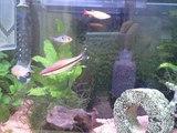 20080814新人熱帯魚