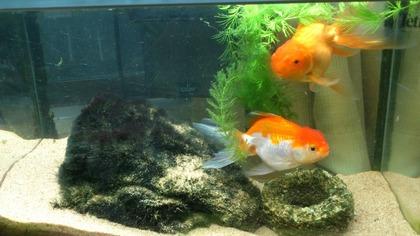 20120811金魚2