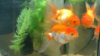 20120811金魚3
