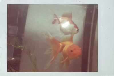 20120217金魚1