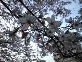 20110410桜3