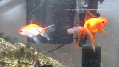 20120202金魚2