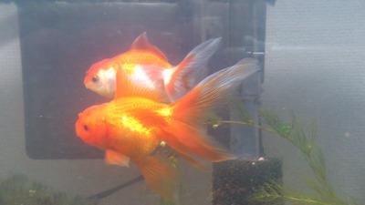 20120217金魚2