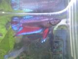 20080701ベタのメス