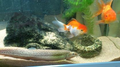 20120811金魚4