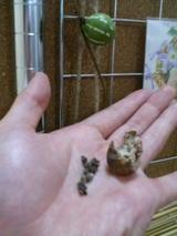 すずめうりの種