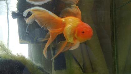 20130918金魚 (2)