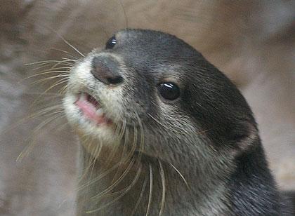 コツメカワウソ : 大好物はピラニア!ワニすら捕食する凶暴なオオカワウソ - NAVER まとめ