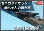 ゼニガタアザラシの赤ちゃんの鳴き声