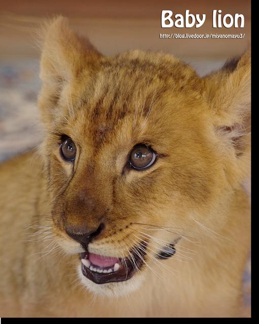 ライオンの画像 p1_27