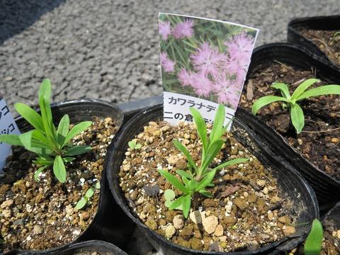 ナデシコ苗。少し小さいですが大きく育ってほしいです。