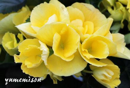 リーガスベコニア 黄色