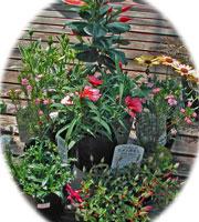 ディプラデニアの花苗セット