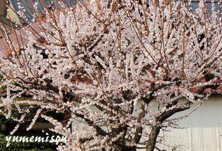 あんず梅の花