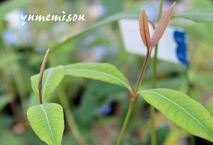 レモンマートルの鉢植え