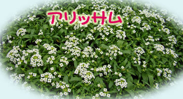 アリッサムの花が、花盛りです。