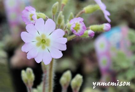 雲南桜草の苗