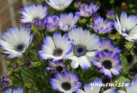 木立性セネシオ 青