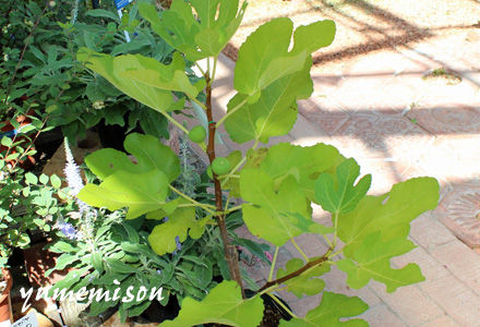 イチジクの鉢植え