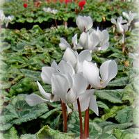 ガーデンシクラメン・白