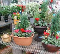 ガーデンシクラメンの寄せ植えいろいろ