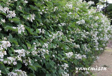 花盛りのブラックベリー