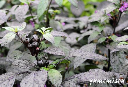 トウガラシの花苗