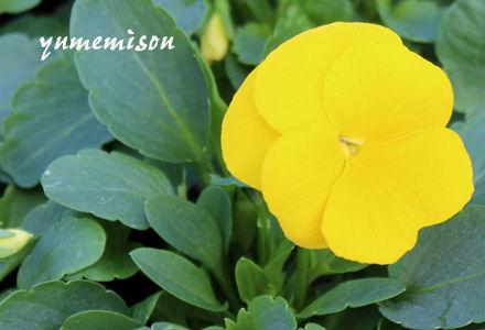 ビオラ 黄色