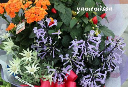 プレクトランサスの花かごセット
