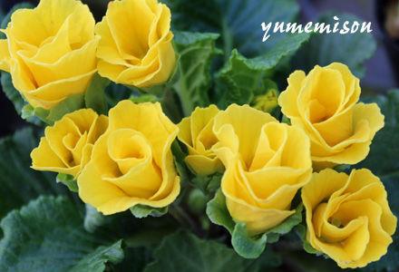 八重咲きのジュリアン 黄色