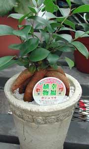 ガジュマルの鉢植